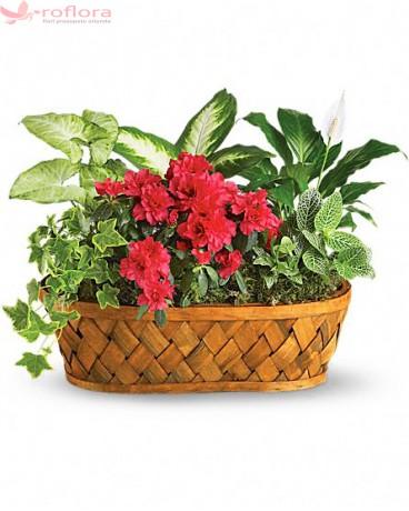 Garden Delight - Cos cu azalea roz, spathiphyllum, hypoester