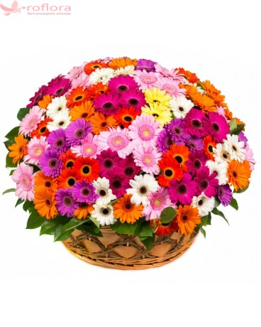 Cos din gerbera multicolore