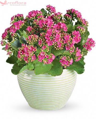 Kalanchoe in ghiveci