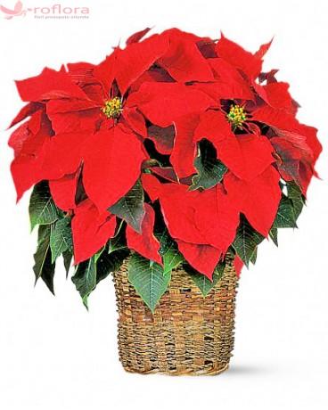 Flori luna decembrie - Poinsettia