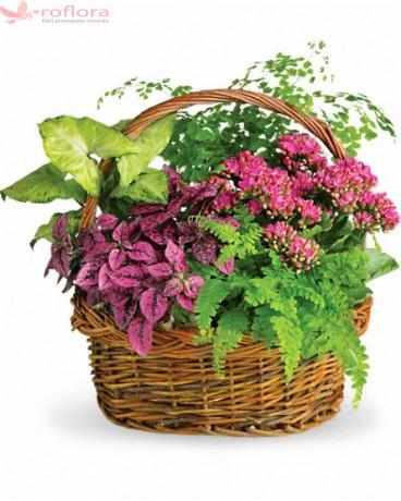 Stylish Plant - Cos cu plante verzi, kalanchoe si hypoester roz