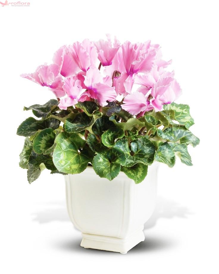 cyclamen roz roflora