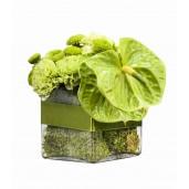 Green Gift - Aranjament din crizanteme si anthurium