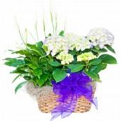 Hortensia - Cos cu hortensii si spathiphyllum