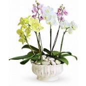 Simply Phalaenopsis - Orhidee phalaenopsis galbene, albe si violet