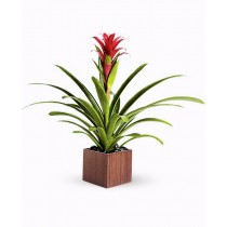 Blooming Success - Guzmania rosie