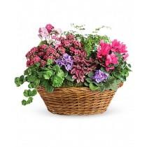 Colorful Plant - Cos cu violeta africana, cyclamen, primula si kalanchoe roz