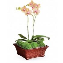 Dualitate - Orhidee phalaenopsis