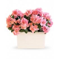 Roz Infloritor - Azalea roz