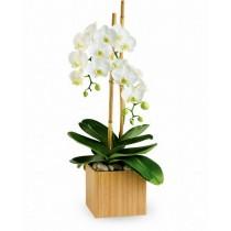 Serene Plant - Orhidee phalaenopsis alba