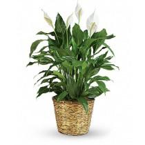 White Garden - Cos cu spathiphyllum