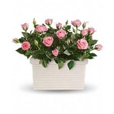 Atingeri gingase – Minirosa roz