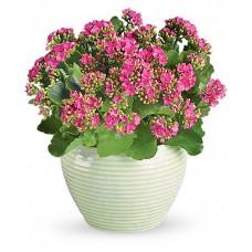 Pink Garden - Kalanchoe roz