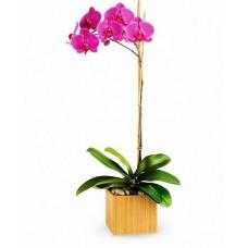 Royal Orchid - Orhidee phalaenopsis violet