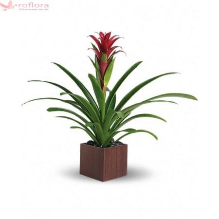 Ce plante în ghiveci sunt potrivite pentru un cadou?